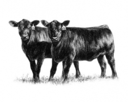Drawing of beef cattle